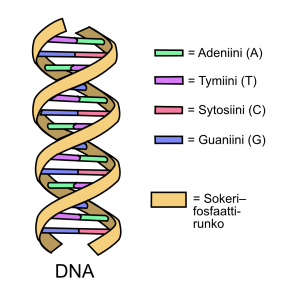DNA:n rakenne