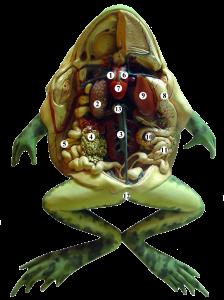 Sammakon anatomiaa. Kuva: Jonathan McIntosh