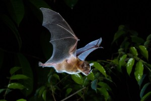 Tilda's Yellow-shouldered bat, Sturnira tildae