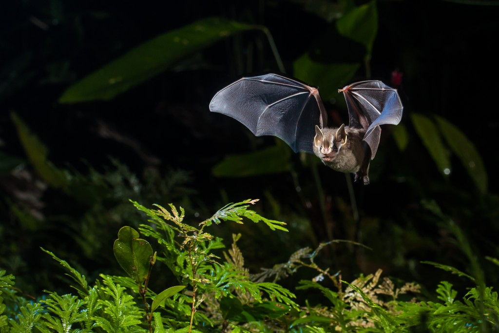 The gnome fruit-eating bat (Artibeus gnomus), an example of a small, fruit-eating and mobile species. Photo by Oriol Massana & Adrià Lopez-Baucells