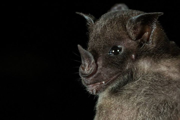 The pale spear-nosed bat (Phyllostomus discolor), one of the species included in the study. Photo by Oriol Massana & Adrià-Lopez Baucells