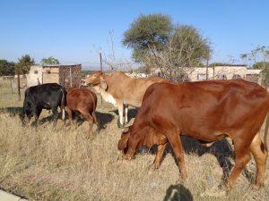 Mthambothinin lehmät vaikuttavat onnellisilta.