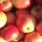 Minun Omenapuun satoa