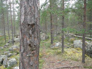 Heart carved into a pine tree at Kankiniemi / Männynkylkeen kaiverrettu sydän Kankiniemessä (Kuva: O. Seitsonen)