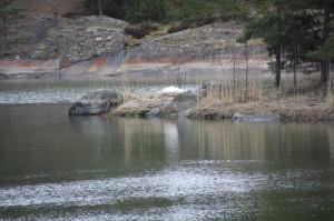 Jännittävää valkoista kasaa tarkasteltiin etäältä: joutsenpariskunta on rakentanut pesänsä Kristallilahden keskellä sijaitsevalle luodolle.