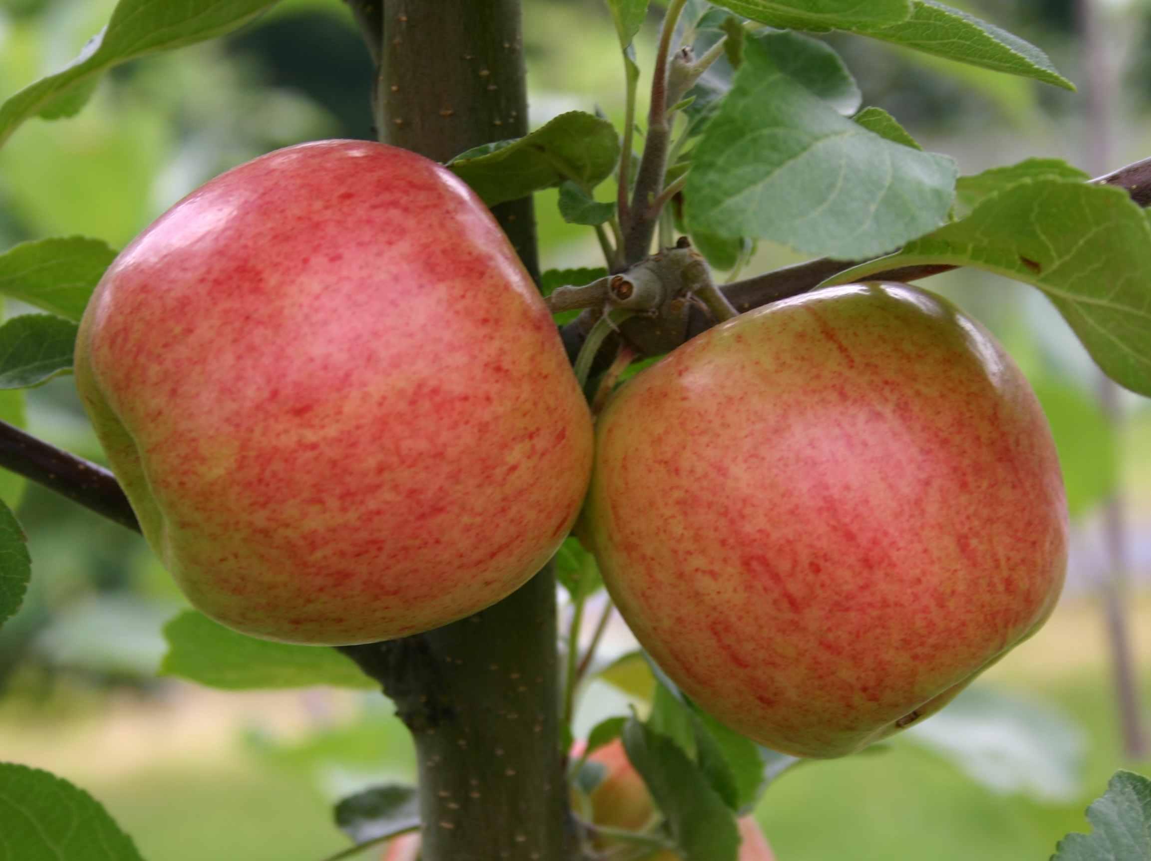 Kuvahaun tulos haulle vuokko omena