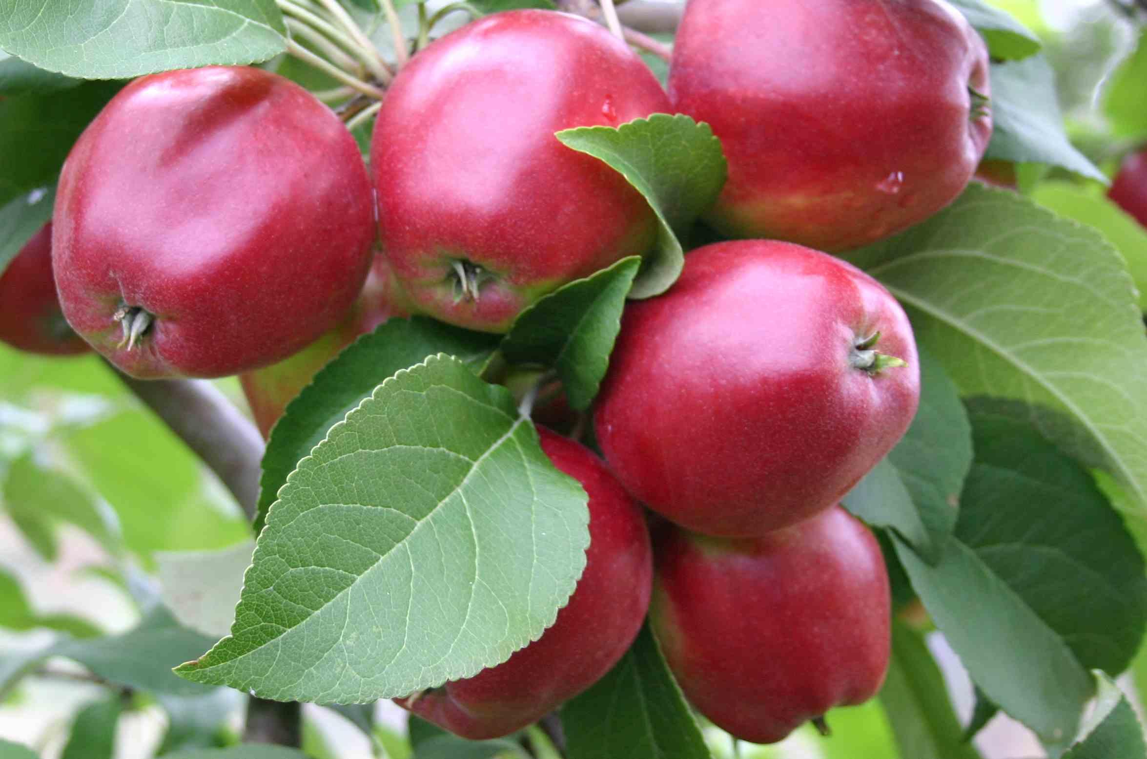 Kuvahaun tulos haulle heta omena