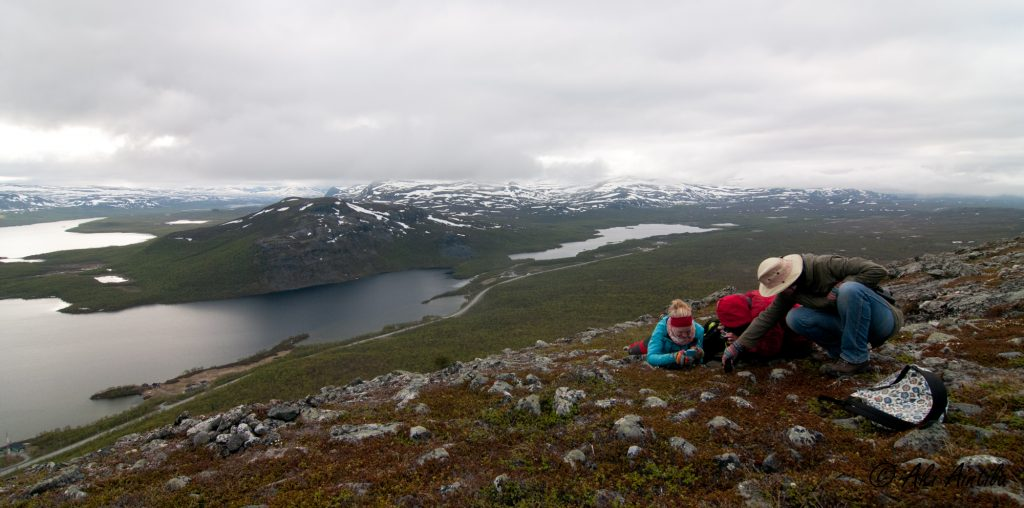 The surroundings for this field course are unique. Students examining Lapland Rosebay (Rhododendron lapponicum) at Saana fell, with the Malla strict nature reserve in the background (photo: Aki Aintila).