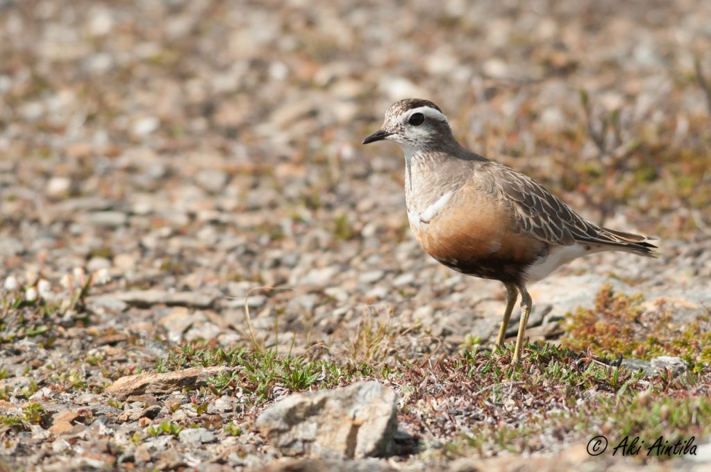 Eurasian Dotterel (Charadrius morinellus) is one of the special birds that breed only in the fell range (photo: Aki Aintila).