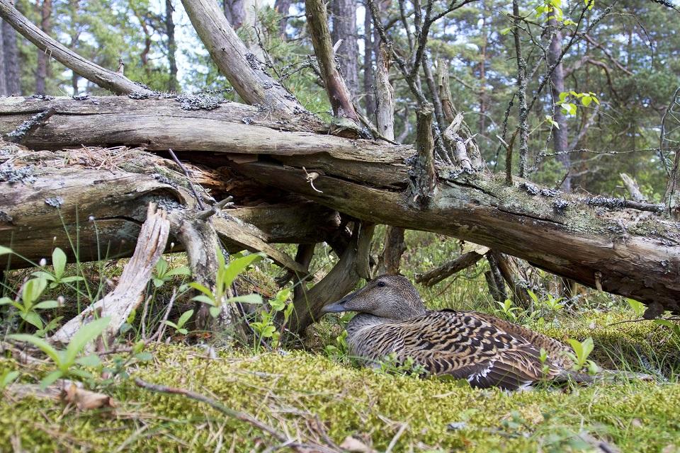 Eider duck has recently been classified as endangered within the EU (photo: Heikki Eriksson).