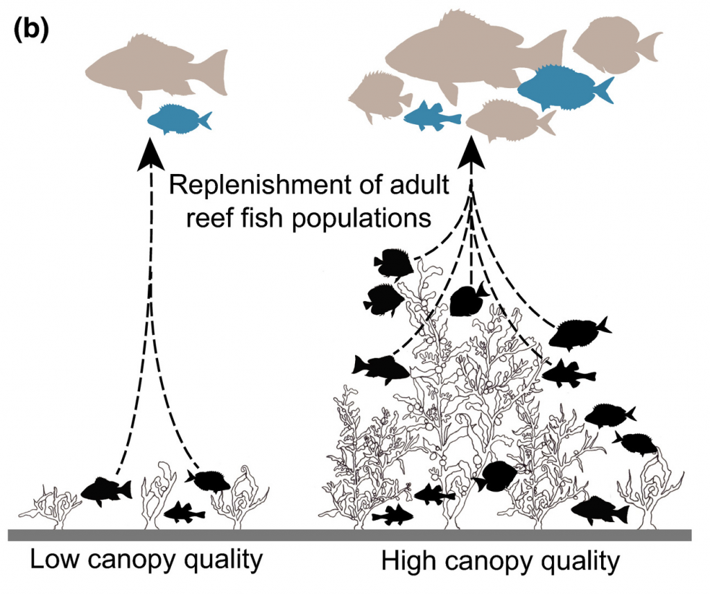 Diagrammatic representation of seaweed reef canopy quality.