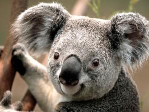 Onpa virkeä koala siinä!