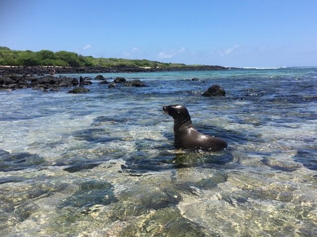 Merileijona Galápagos-saarilla