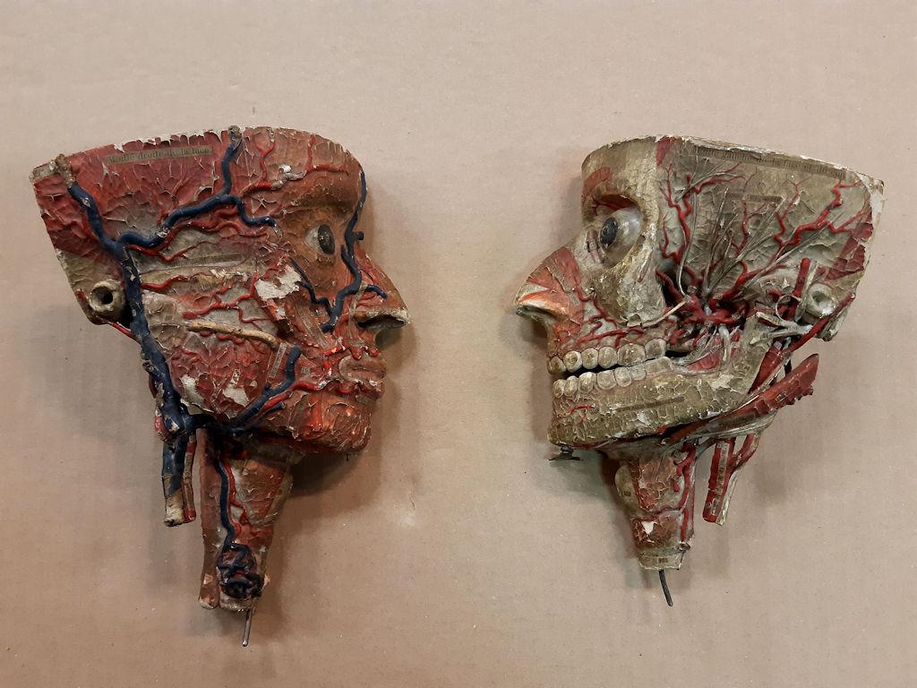 Kuvassa museon kokoelmiin kuuluvia anatomiamalleja.