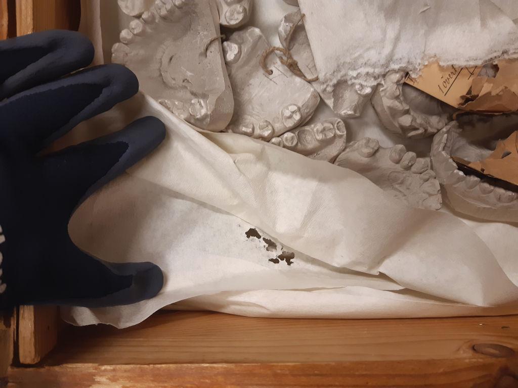 Hyönteistuhoja vanhan hammasmalleja sisältävän arkun pakkausmateriaaleissa.
